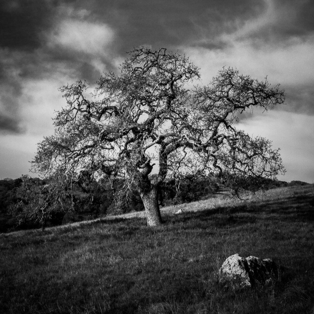 Photograph Calero Oak by Dayne Reast on 500px