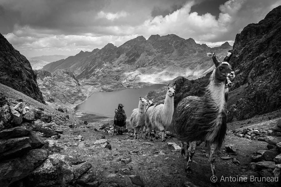 Llamas Caravan