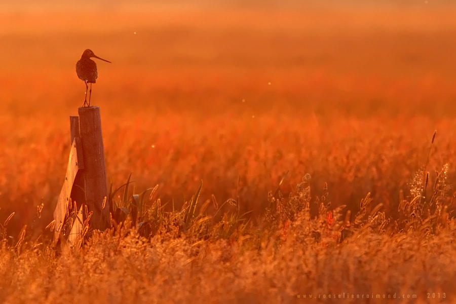 Photograph A Godwit Evening by Roeselien Raimond on 500px