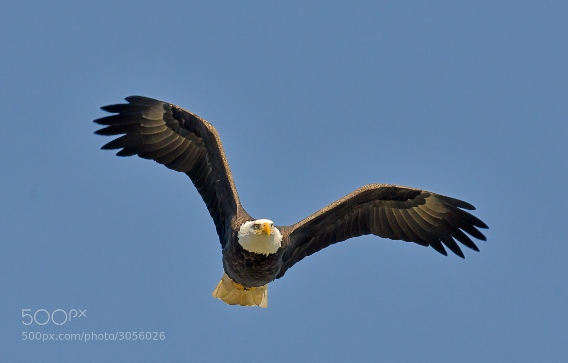 Photograph Bald Eagle 1 by Steven Kersting on 500px