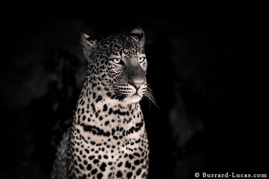 A young male leopard photographed last week in South Luangwa.