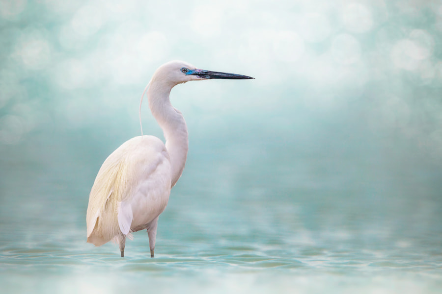 Little Egret by Sina Pezeshki on 500px.com