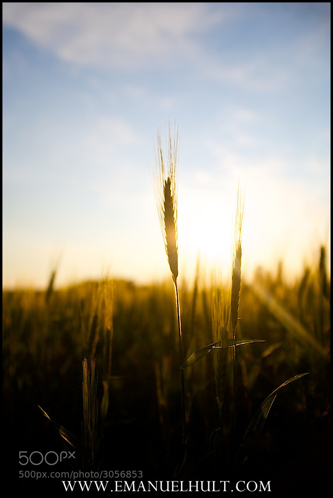 Photograph Barley by Emanuel Hult on 500px