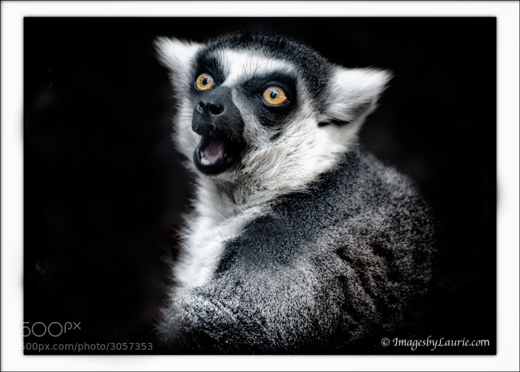 Surprise!  (Ringed-Tailed Lemur)