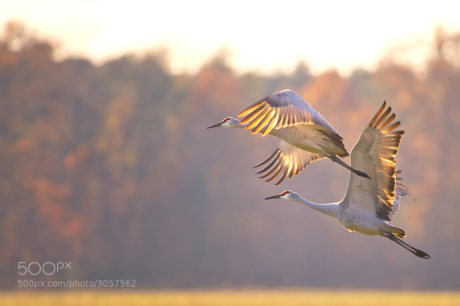 Photograph Sandhill Cranes by Richard Susanto on 500px