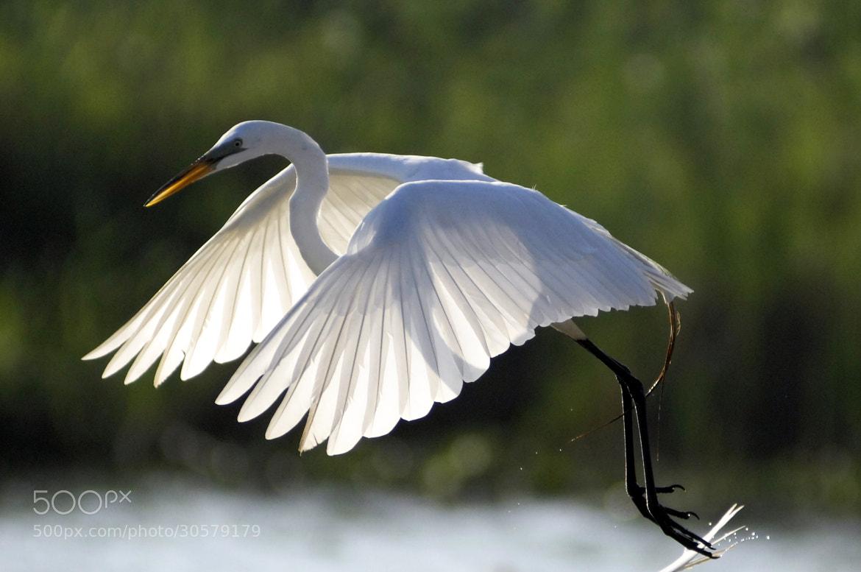 Photograph Great Egret by Cristobal Garciaferro Rubio on 500px