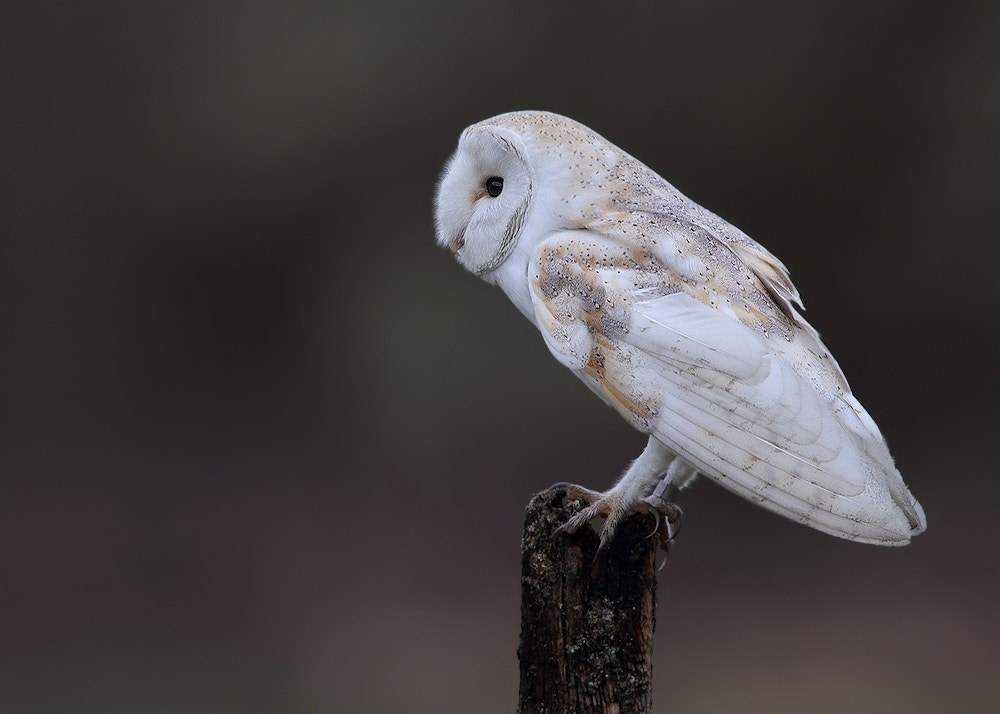 Photograph Barn Owl ( always wild ) by Karen Summers on 500px
