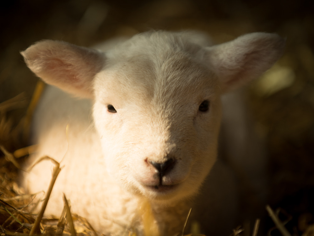 Photograph Cute lamb by Alex Brown on 500px