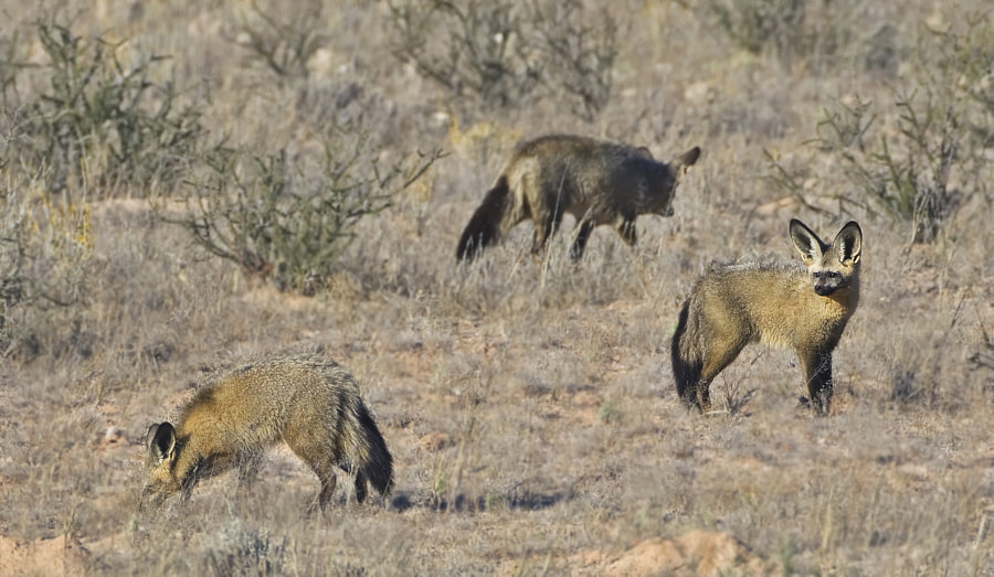I find these very frustrating and never seem to get close enough, this family was out feeding in the Kgalagadi Transfrontier Park, South Africa