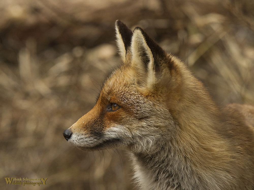 Photograph Fox portret by Henk Schuurman on 500px