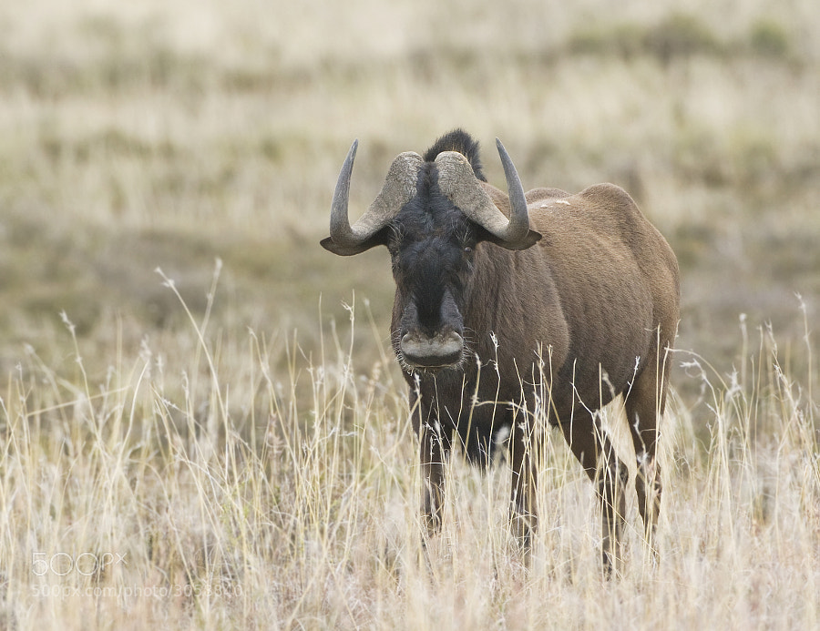 """Once the most populous of the Plains game species of South Africa, but now extinct in the """"Wild"""", it can only be found in Sanparks reserves and private concessions. Taken in Mountain Zebra National Park, South Africa"""