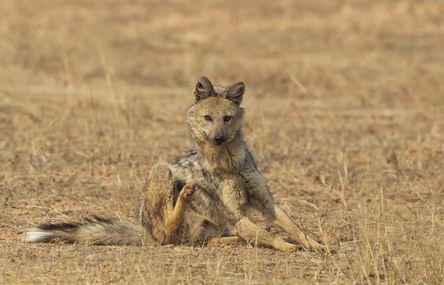 A Jackal scatches those fleas in the hinterland of Matusadona National Park, Zimbabwe
