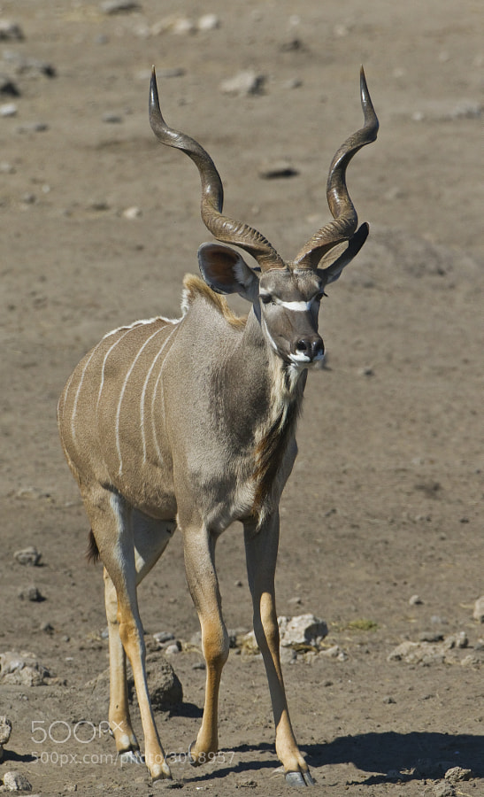 A nice male approches a waterhole in Etosha National Park, Namibia