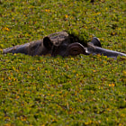 Hyppo, North Luangwa National Park, Zambia