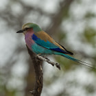 Lilac-breasted Roller - Carraca Lila South Africa