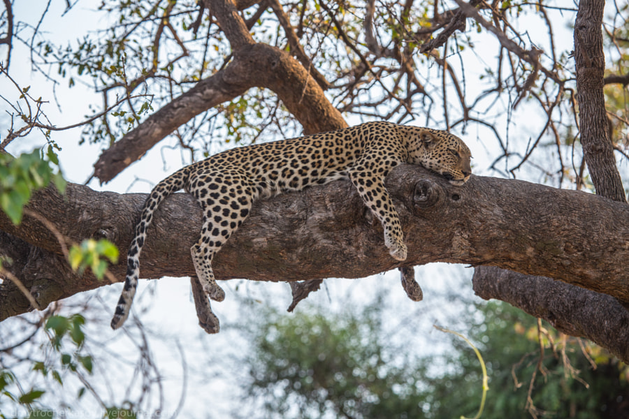 Female leopard on tree