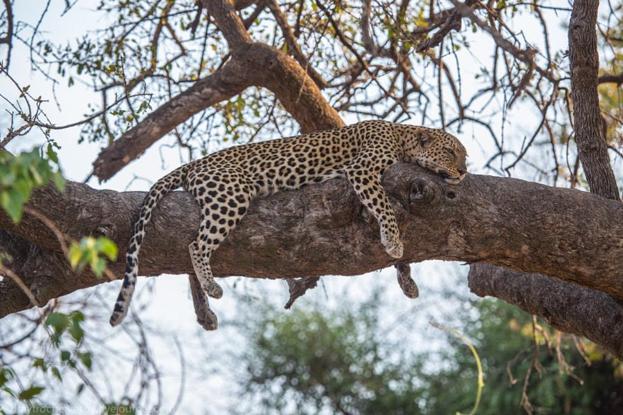 Female leopard on tree