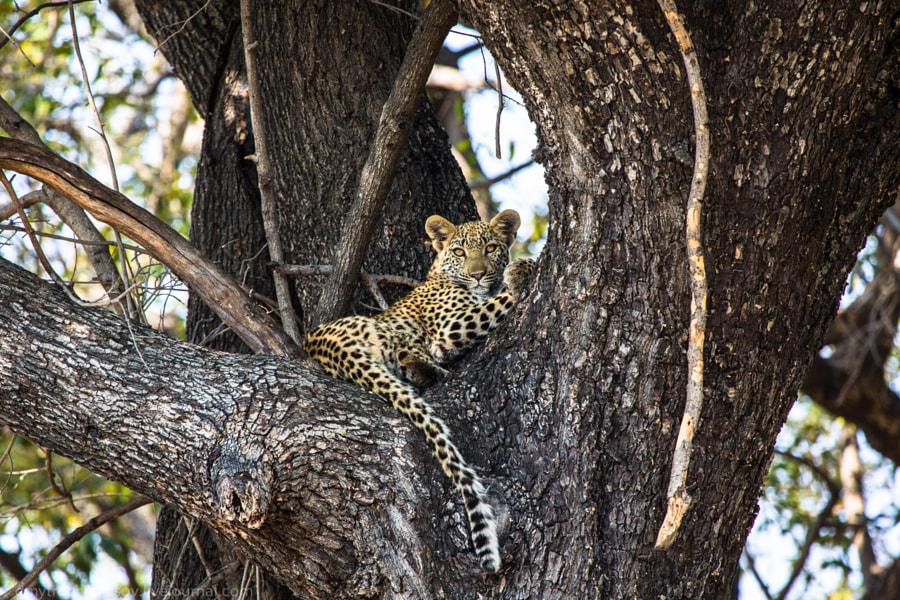 Leopard cub on tree