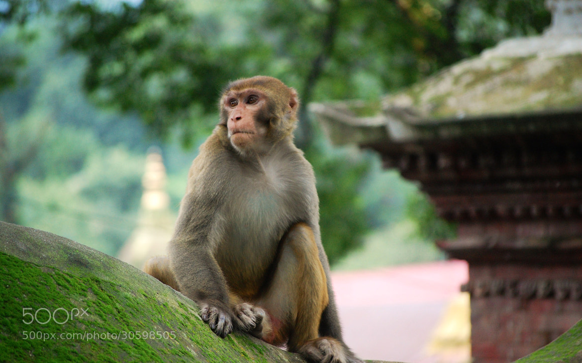 Photograph Monkey by Temple by Laurien Lub on 500px