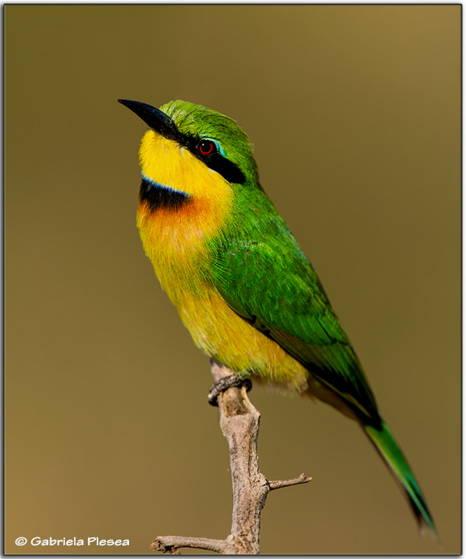 Photograph Little Bee Eater by Gabriela Plesea on 500px