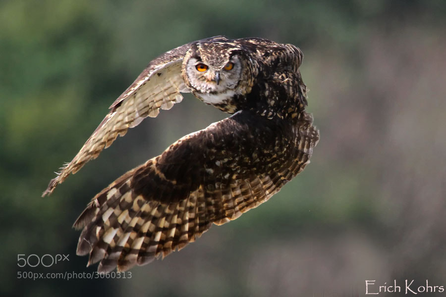 Photograph Cape Eagle-Owl by Erich Kohrs on 500px