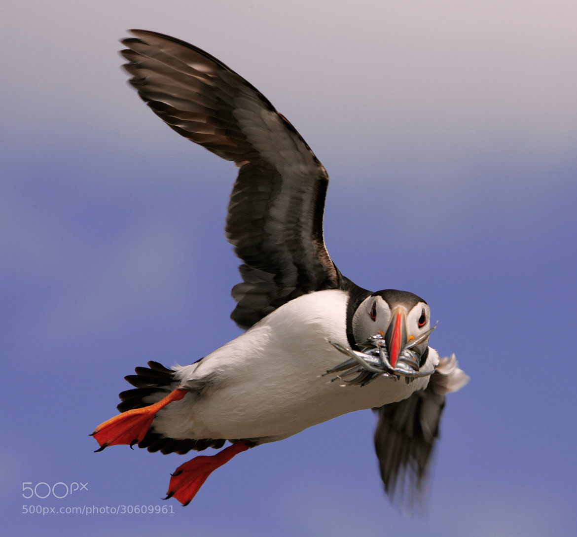 Photograph May Puffin by Colin McLatchie on 500px