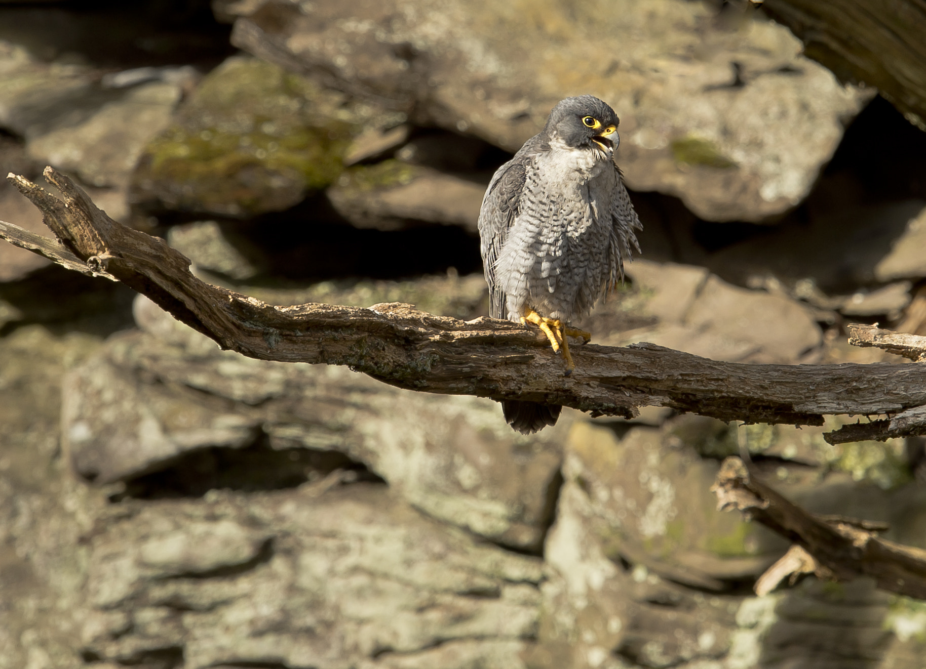 Photograph peregrine by Mark Bend on 500px