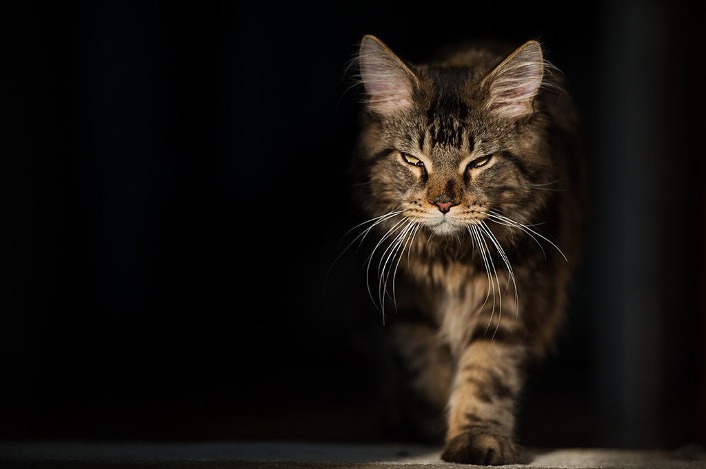 Photograph Leo the cat by Luka Tambača on 500px