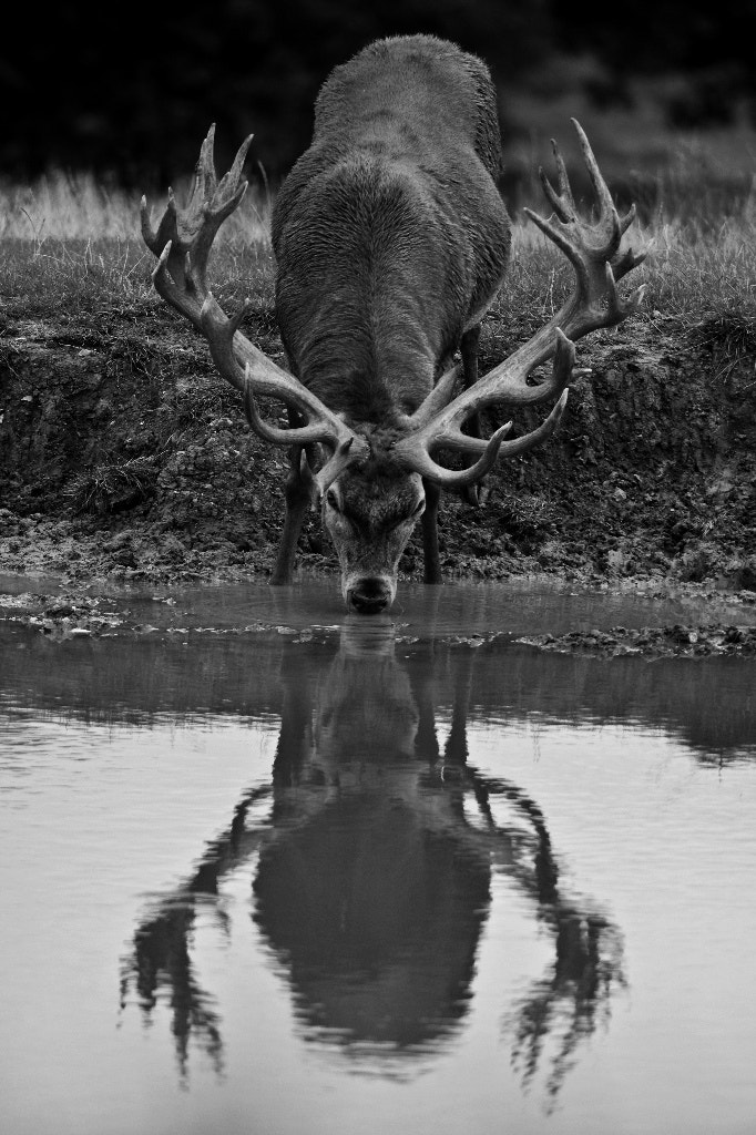 Photograph Red Deer Reflection by George Wheelhouse on 500px