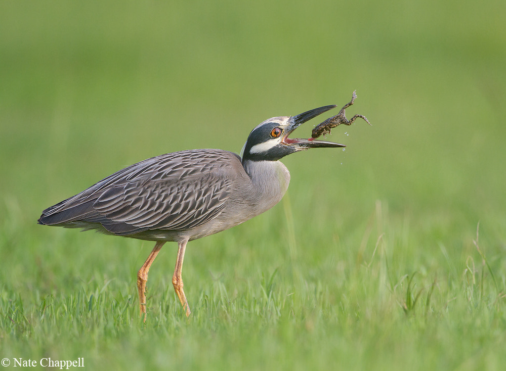 Photograph Night Heron Flips Frog by Nate  Chappell on 500px