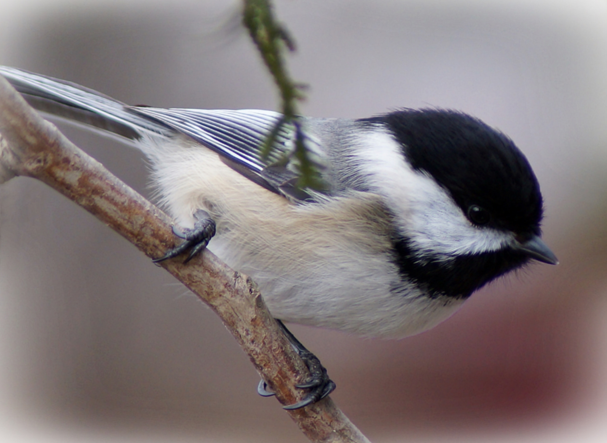 Photograph Black Capped Chickadee by Cherylorraine Smith on 500px