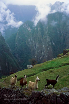 Photograph Llamas by Bill Shapter on 500px