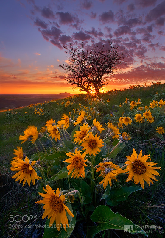 Photograph Balsam Root and Tree, Palouse by Chip Phillips on 500px