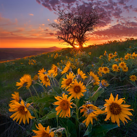 Balsam Root and Tree, Palouse