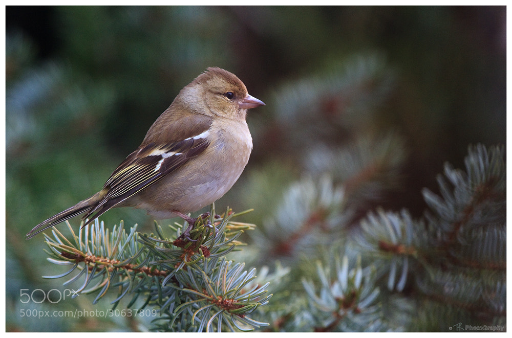 Photograph Common Chaffinch by Tobi K on 500px
