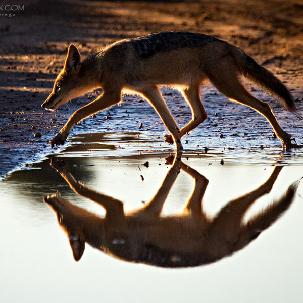 Jackal reflections