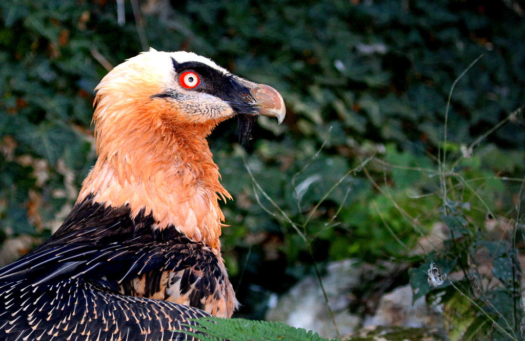 Photograph Bearded vulture [Gypaetus barbatus] by Rainer Leiss on 500px