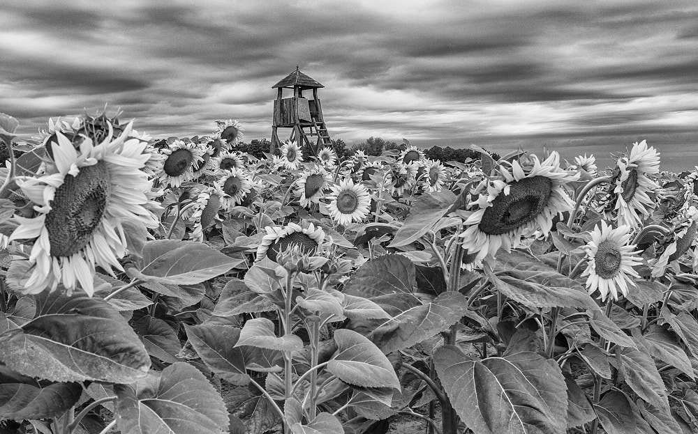 Photograph Sunflower field by Tamás Kiss on 500px