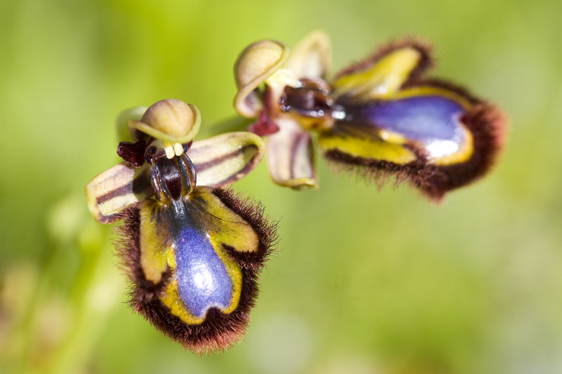 Photograph Ophrys speculum by Rafa García on 500px