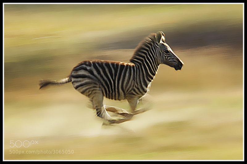 Zebra Running Photograph zebra running by