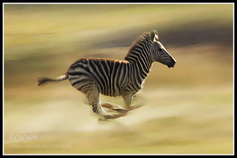 zebra running - photo #6