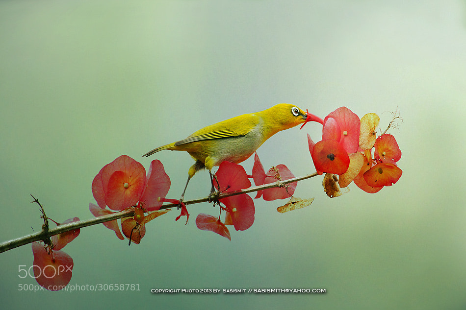 Photograph Bird-Flower by Sasi - smit on 500px