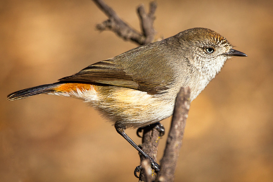 Chestnut-rumped Thornbill by Paul Amyes on 500px.com