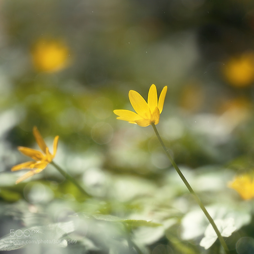 Photograph yellow flowers by Yulia Pletinka on 500px