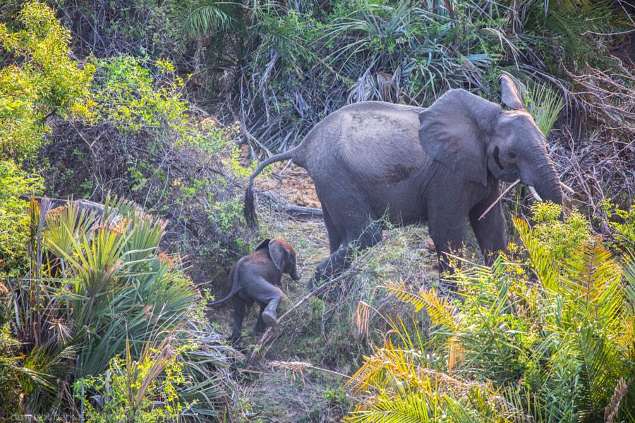 Elefants family