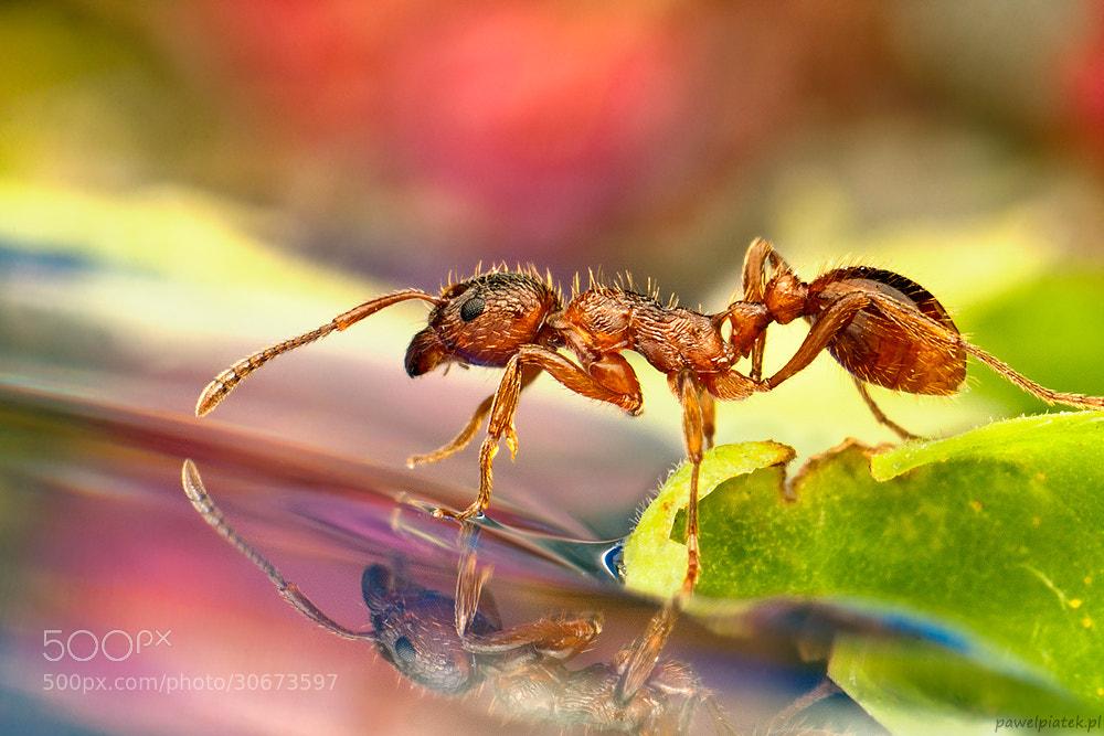 Photograph Czerwona mrówka by Paweł Piątek on 500px