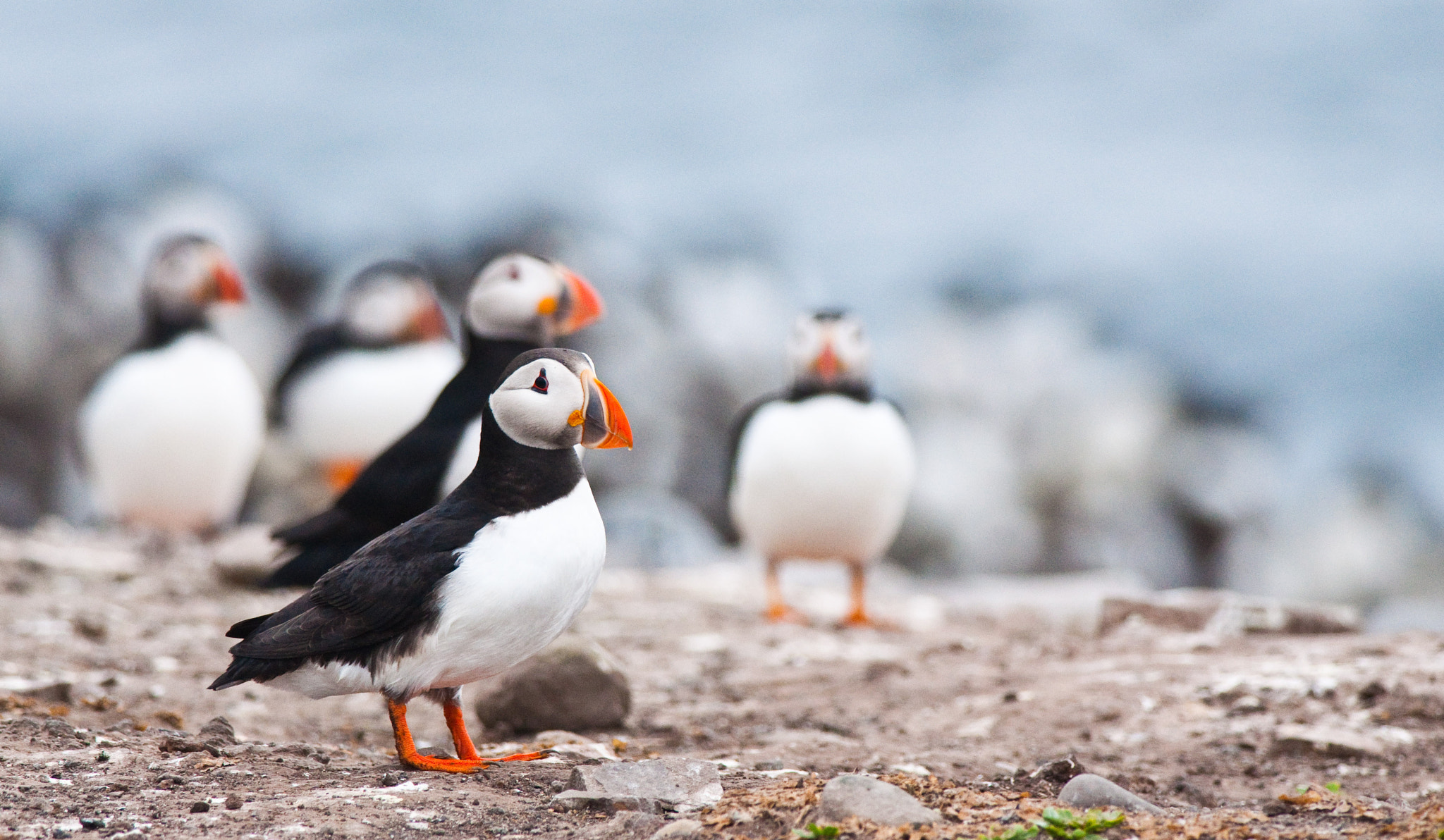 Photograph Puffin Colony  by Luke Millward on 500px