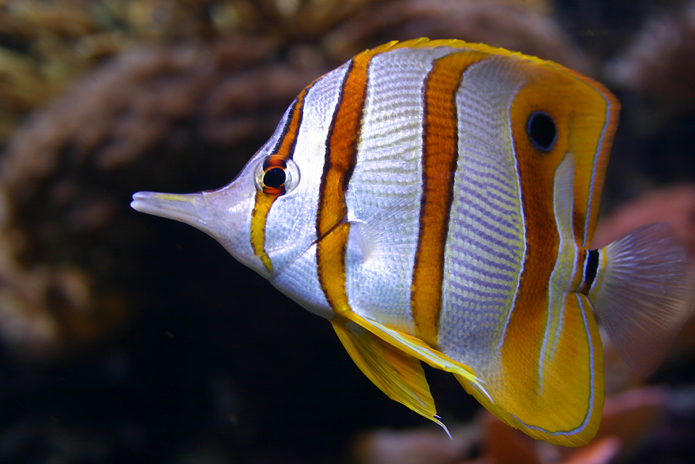 Photograph Beaked Butterflyfish by António Fery Antunes on 500px