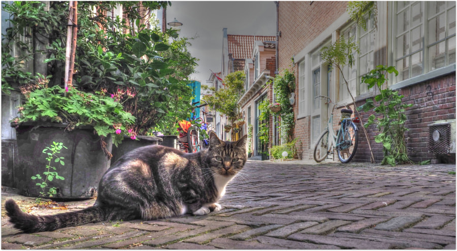 Nederlandse kat by Ernst Kramer on 500px.com