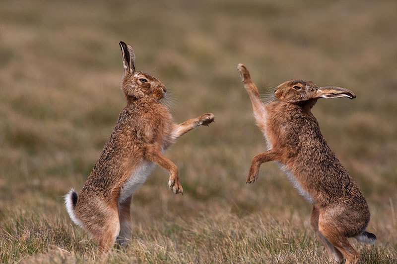 Photograph Boxing hares by dave blackwell on 500px